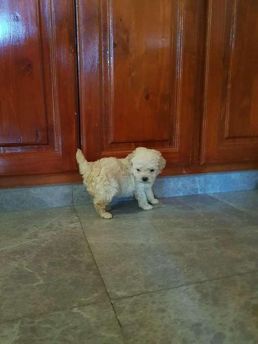 Cachorro Caniche!!!