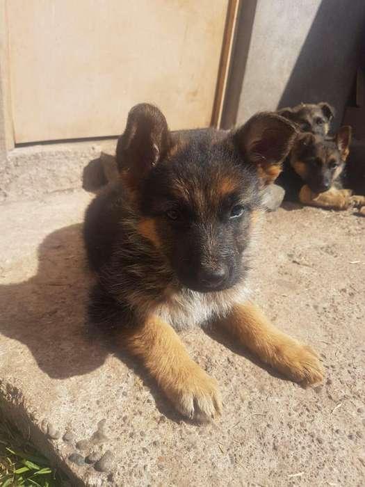 Vendo <strong>cachorro</strong>s pastor aleman