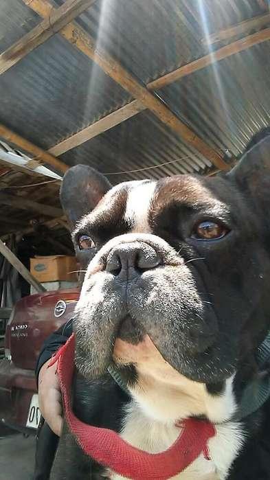 <strong>bulldog</strong> Frances para Montas