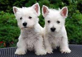 <strong>cachorro</strong>s raza Westy con pedigri