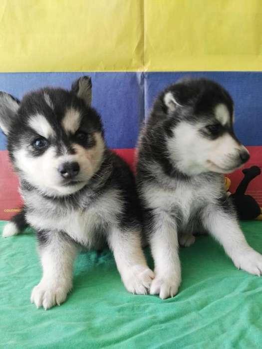 atractivos cachorros husky foto real