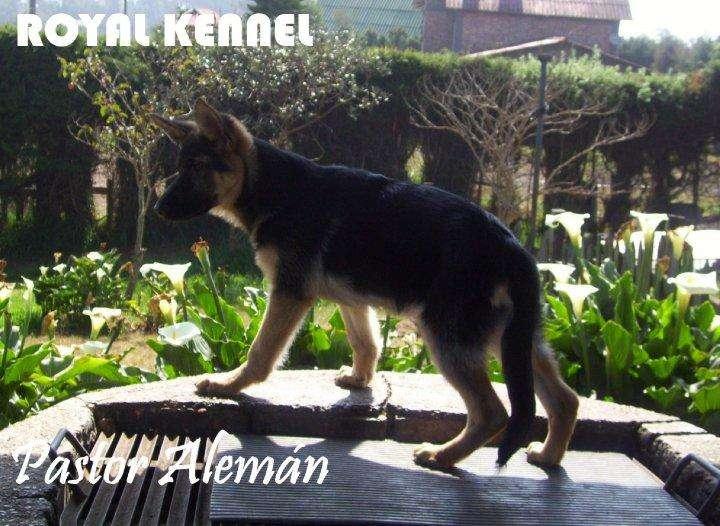 PASTOR ALEMAN !ESPECTACULARES! DE ROYAL KENNEL