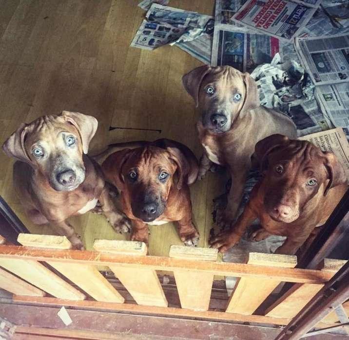 Cachorros de Raza Rhodesian Ridgeback (raza africana - linea europea)