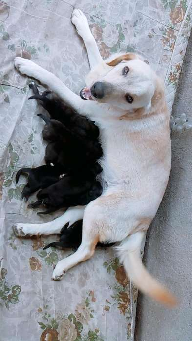 Vendo <strong>perra</strong> Labrador Adulta