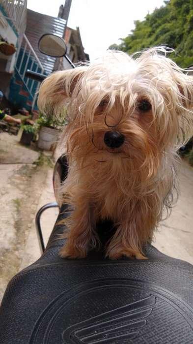Busco Novia Yorkie Mini Terrier