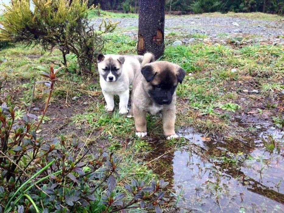 Cachorros Akita Japonés