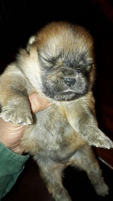 Ultima Chow Chow Disponible