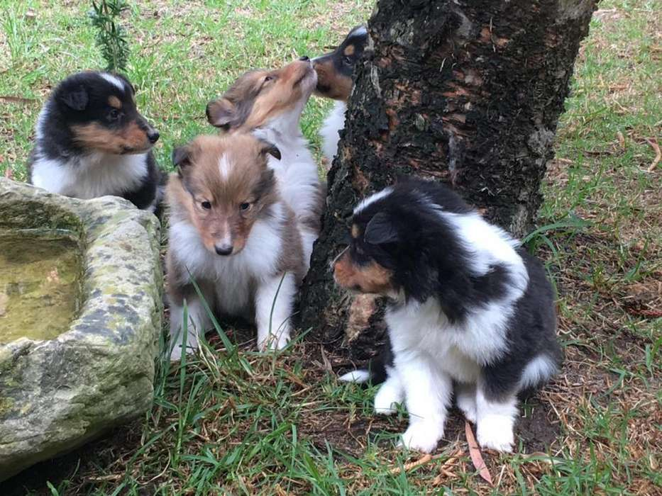 Cachorros Pastor <strong>collie</strong> Tricolor