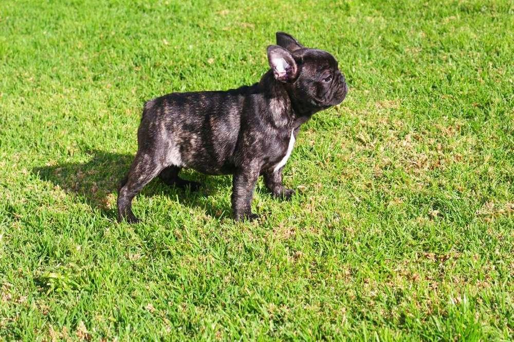 Bulldog Francés Machito de Calidad