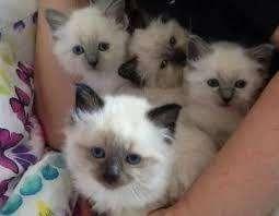 venta hermosos gatos ragdoll
