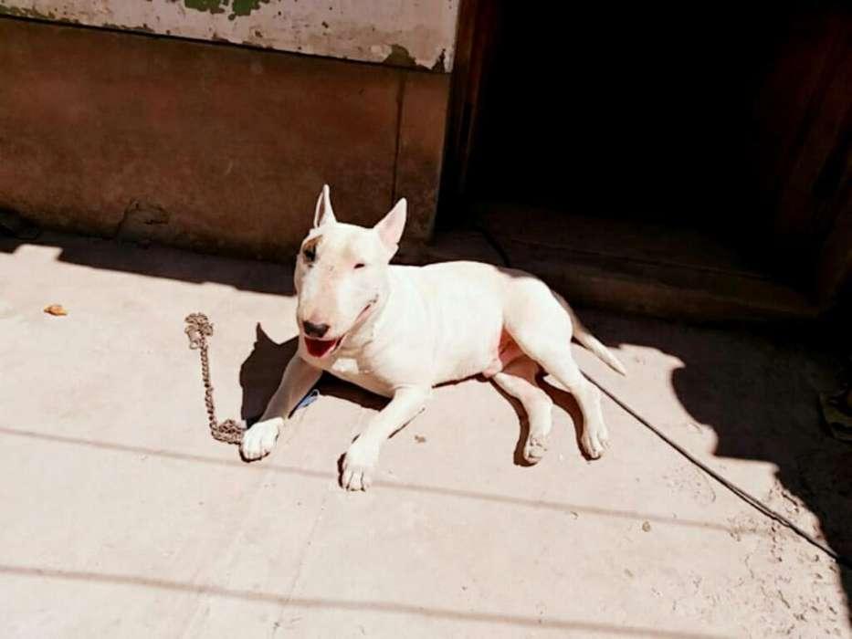 Servicio Monta Bull Terrier