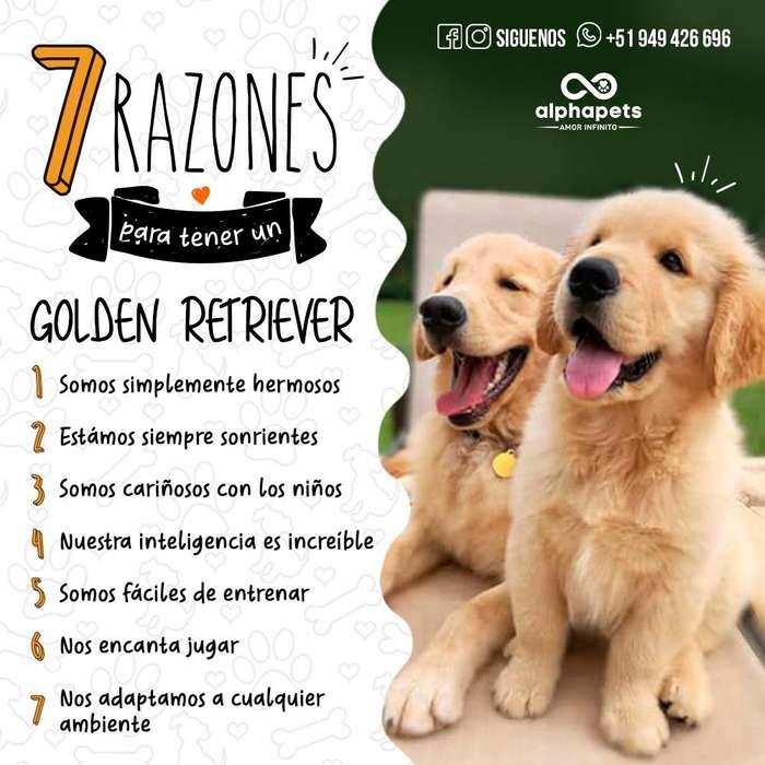 CACHORROS GOLDEN RETRIEVER DE LAS MEJORES LINEAS ENVÍO NACIONAL E INTERNACIONAL