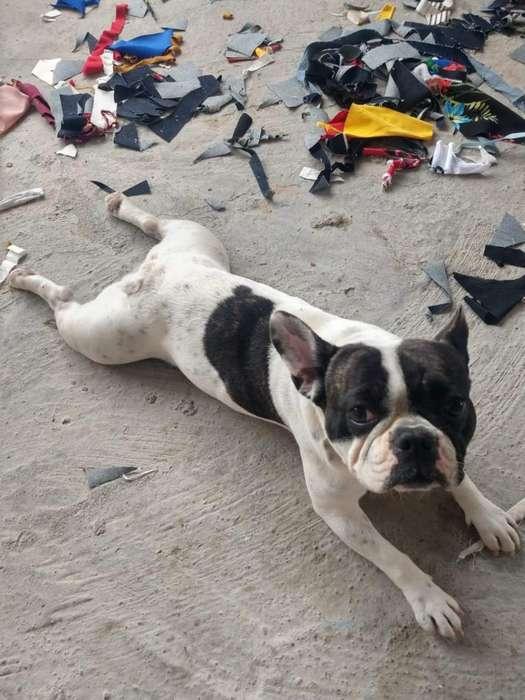 Vendo <strong>bulldog</strong> Frances