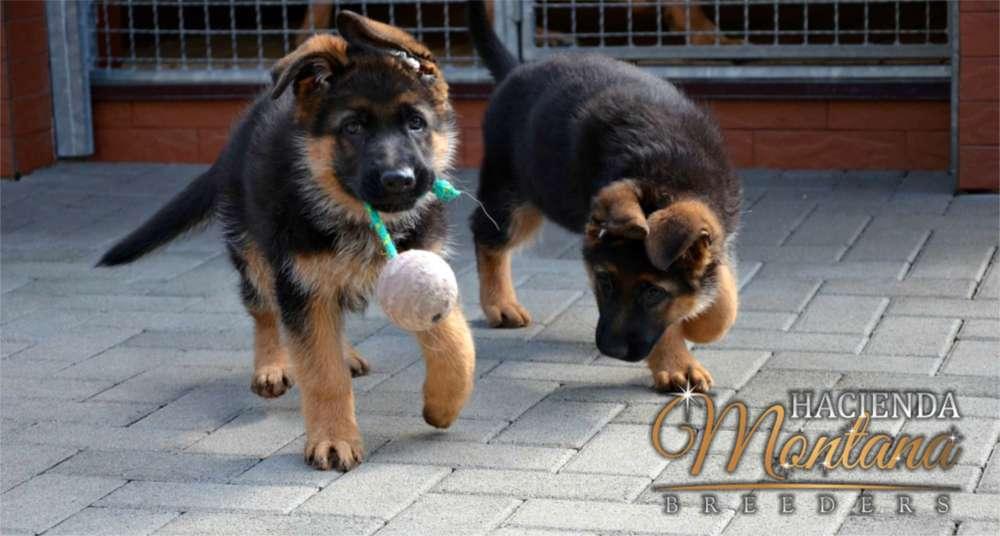 VENTA DE <strong>cachorro</strong>S PASTOR ALEMÁN EN TUNJA