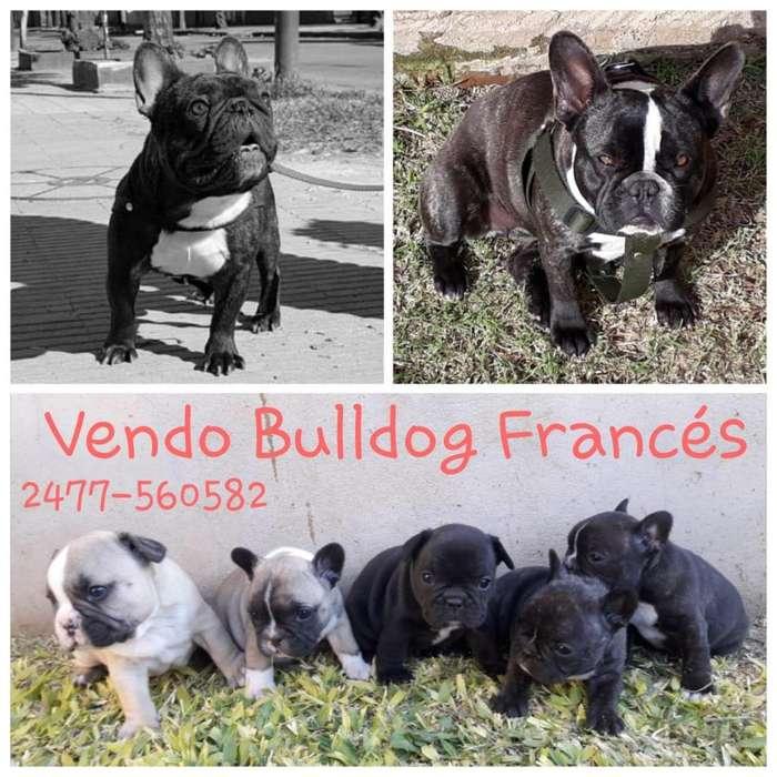 Bulldog frances Dos machitos dis ponibles