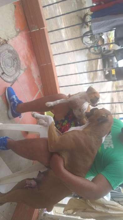 Cachorro Boxer Puro 2 Meses Vacunados