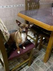 Cachorritos Chiguagua