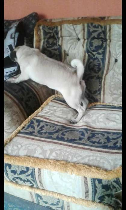 Se Vende Hermosa Pug de 7 Meces