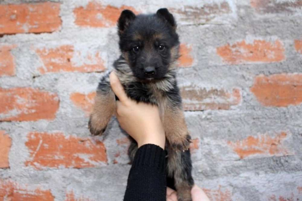 Vendo <strong>cachorro</strong>s de Pastor Aleman