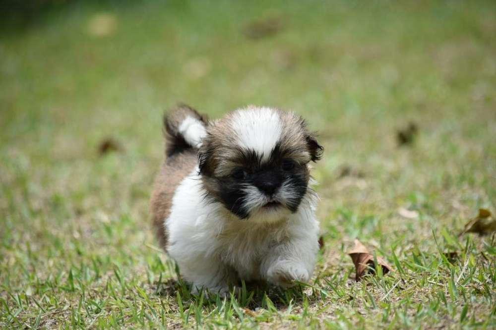 Shih Tzu de Cancan <strong>mascota</strong>s