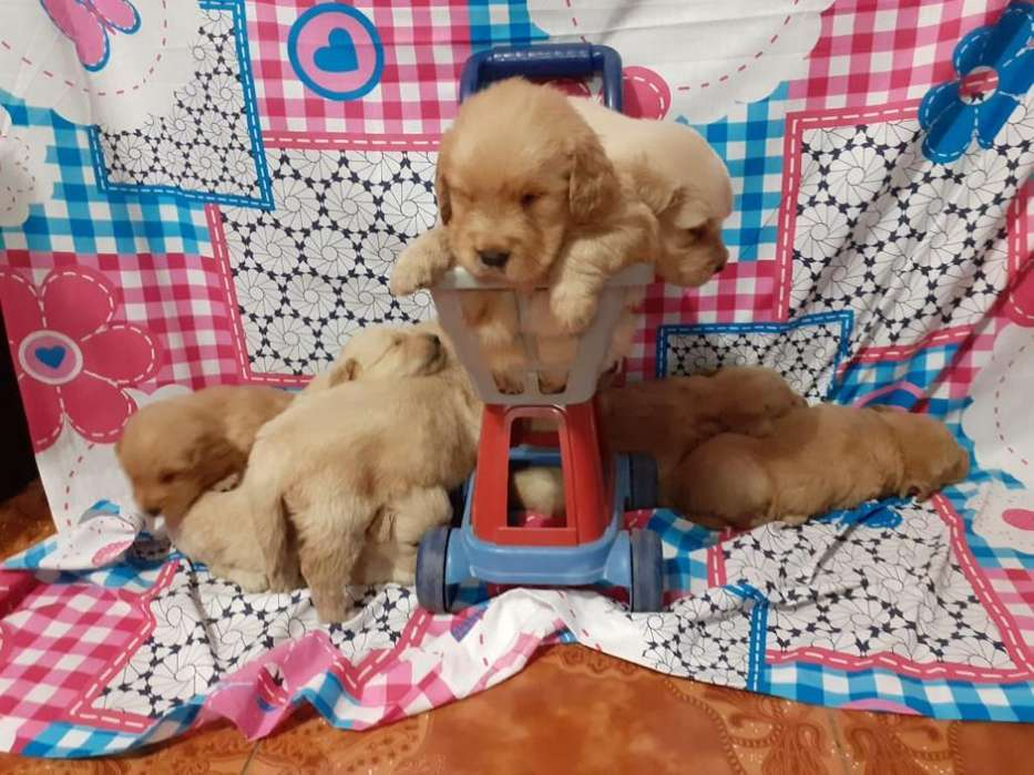Cachorros Golden Retrivers