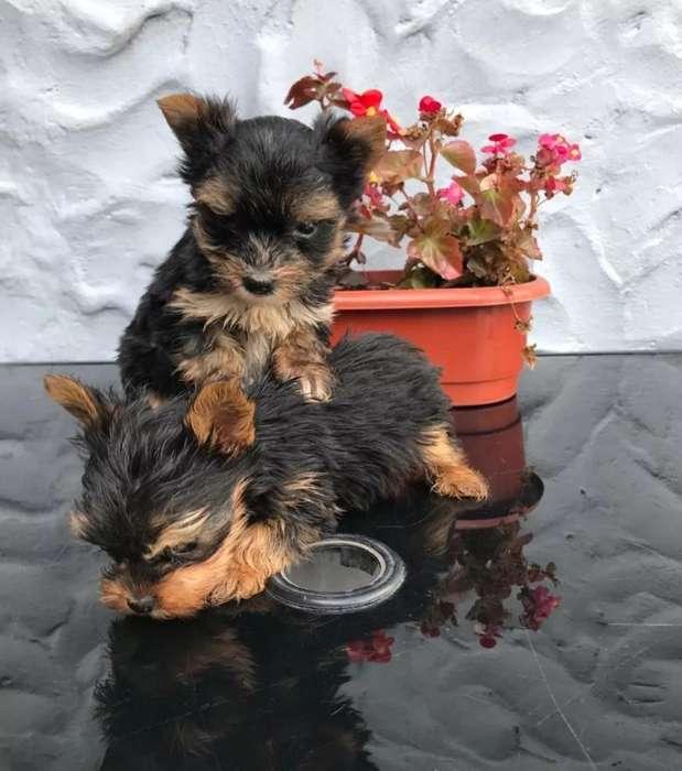 Lindos Perritos Yorkshire Terrier Venta