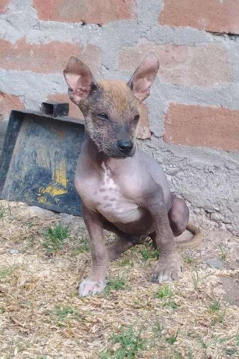 Perros peruanos sin pelo