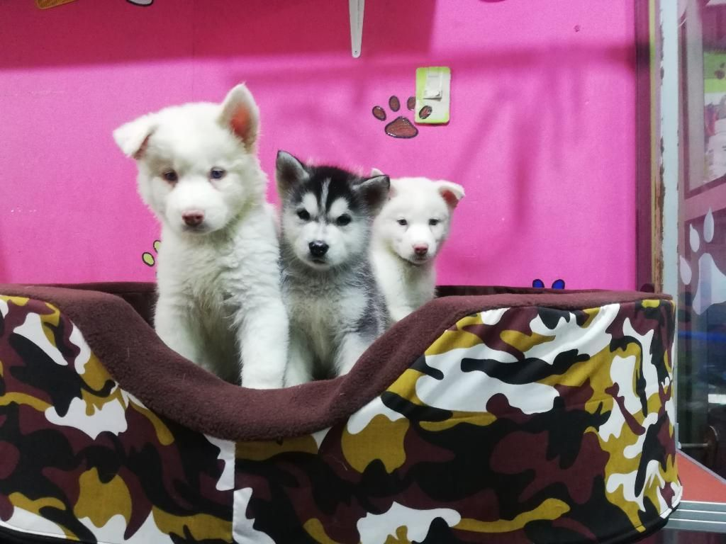 Siberian Husky Machitos 2 Últimos Blanco