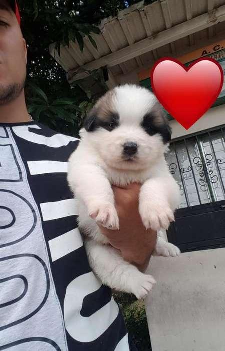Vendo Precioso Cachorro San Bernardo