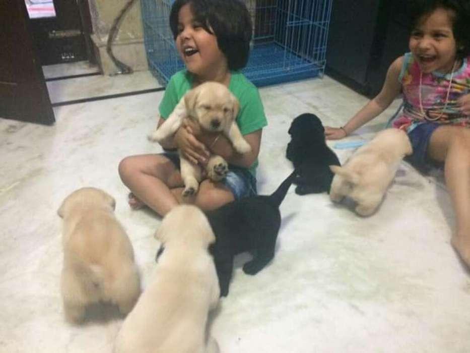 Cachorritos Labradores Disponibles Venta