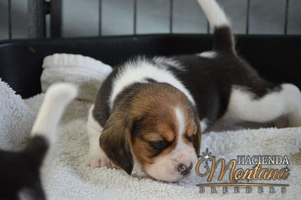 CACHORROS <strong>beagle</strong> TRICOLOR EN PASTO