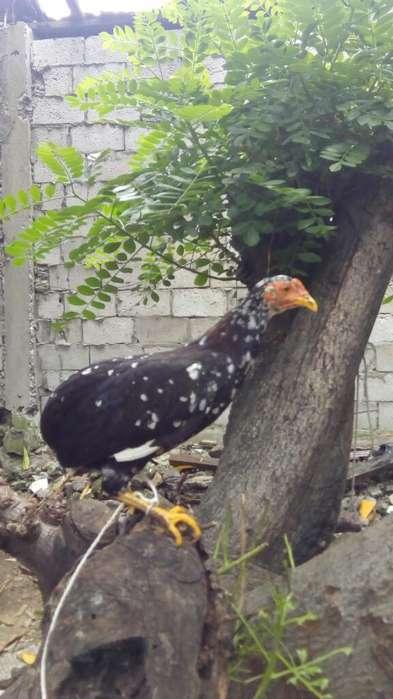 Polla Fina Bolo Lista para <strong>gallo</strong>