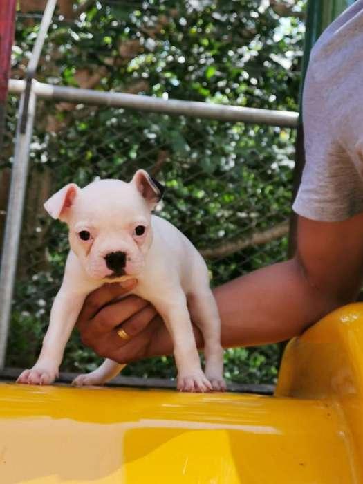 Cahorros Boston Terrier.