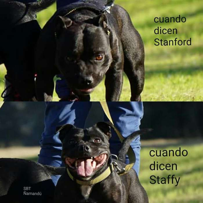 Stanford Bull Terrier Servicio de Monta