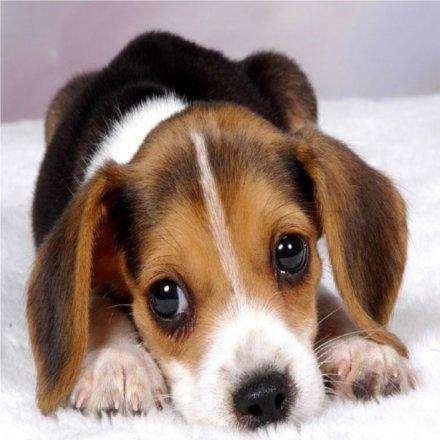 Hermosos <strong>cachorro</strong>s Beagle