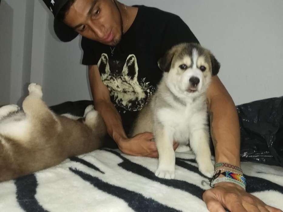 Cachorros de Husky Exelente Genetica