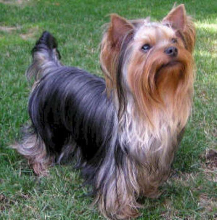 Se Busca Novia Yorskie <strong>terrier</strong> Mini