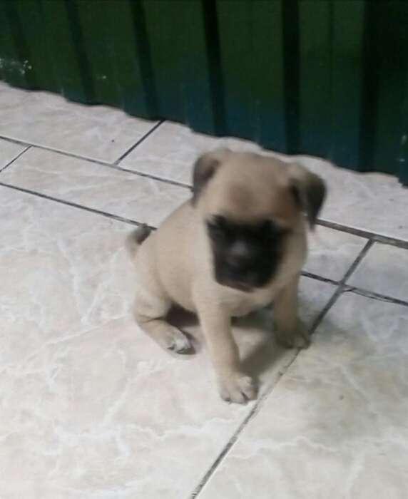 Se Vende <strong>cachorro</strong> Pug en Rasado