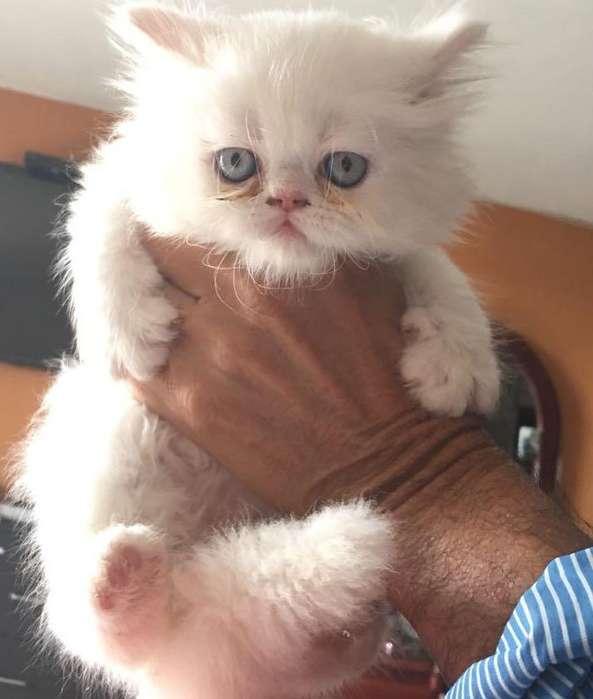 Vendo Gatos Persa