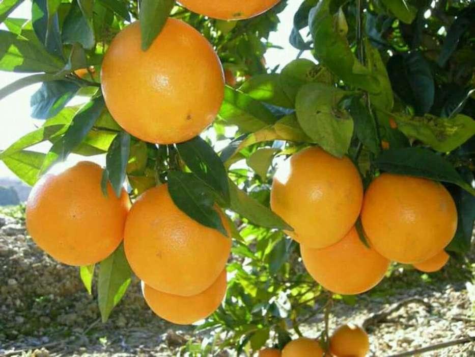 Se Vende Naranjas Y Limones Injertos