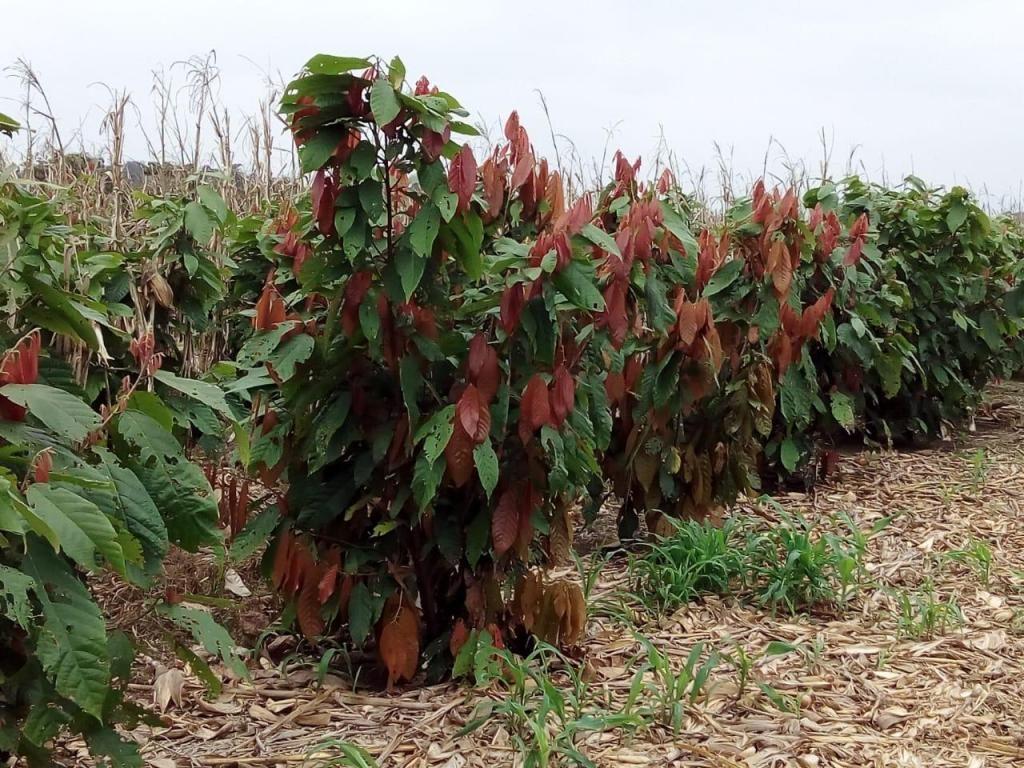 Finca Cacaotera
