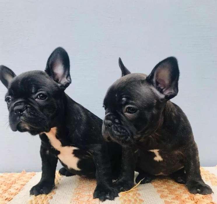 Cachorros <strong>bulldog</strong>s Frances Disponibles