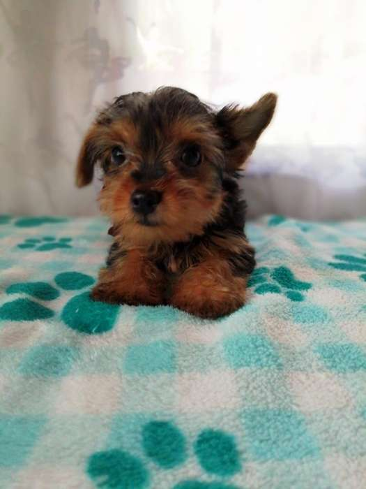 Disponible Cachorro Yorkshire <strong>terrier</strong>