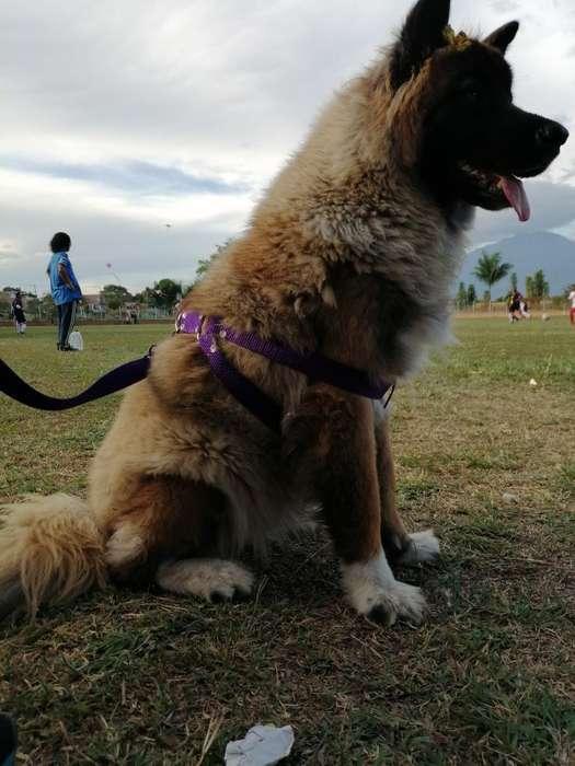 <strong>perra</strong> Akita Pura Busca Novio