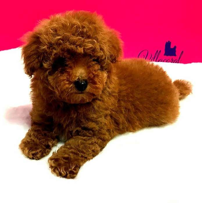 rojos poodle caniches