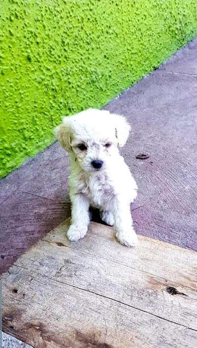 Hermoso <strong>cachorro</strong> French Poodle Puro