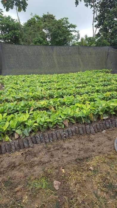 Plantas de Cacao Ramilla Ccn51