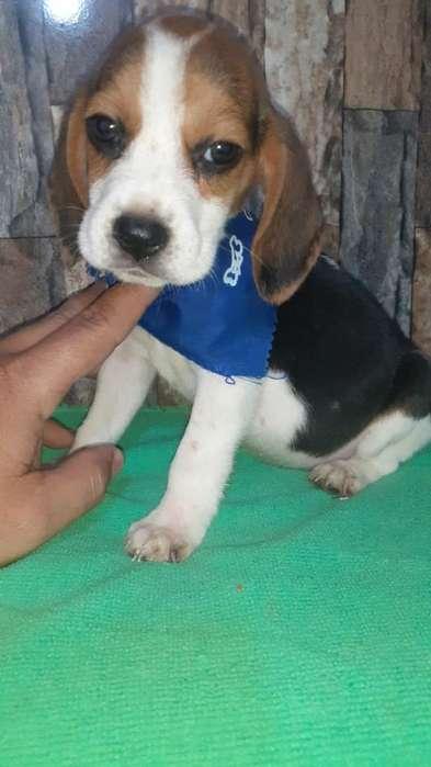 <strong>beagle</strong> Enanos Simpatito
