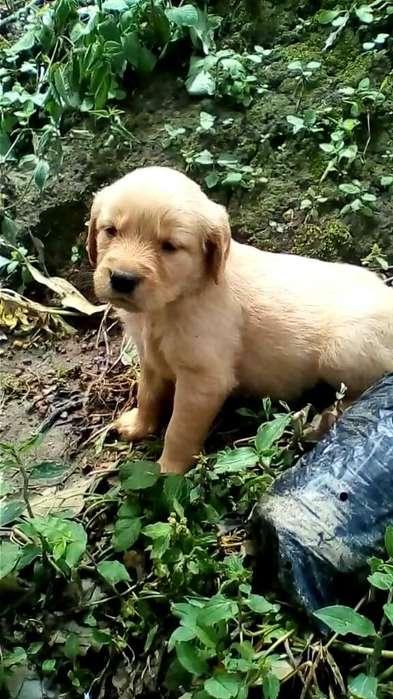 Cachorritos de Golden Retriever