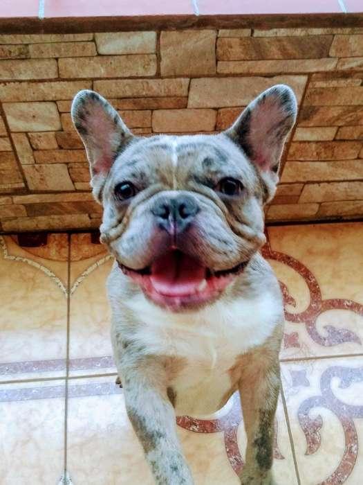 Bulldog Francés Blue Merle